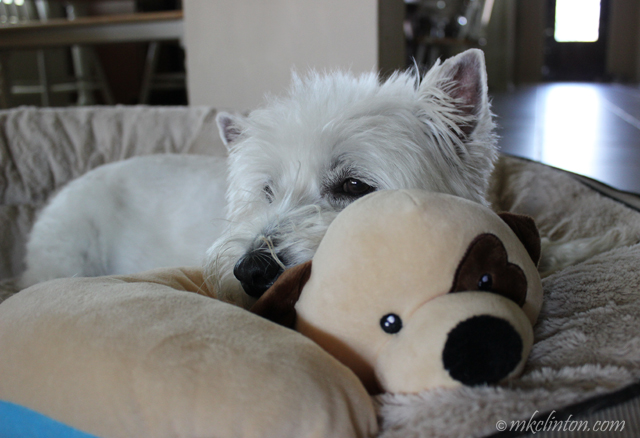 Westie with The Dog Pillow