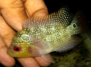 Tips memilih anakan ikan louhan berkualitas bagus