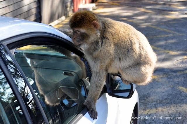 The Macaque Monkeys of Gibraltar