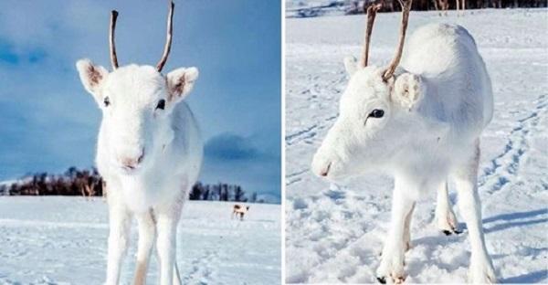 Редчайший белоснежный олененок был замечен в черте Осло Норвегии