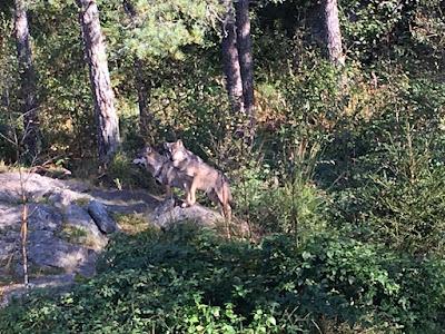 Stellen Sie sich zwei Wölfe und viele Bäume vor.