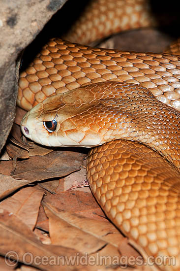 Snake Eyes Hd Wallpapers Snakes Taipan