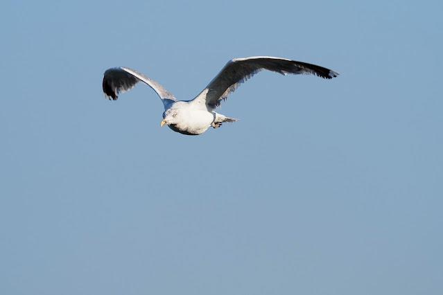 fliegende Silbermöwe