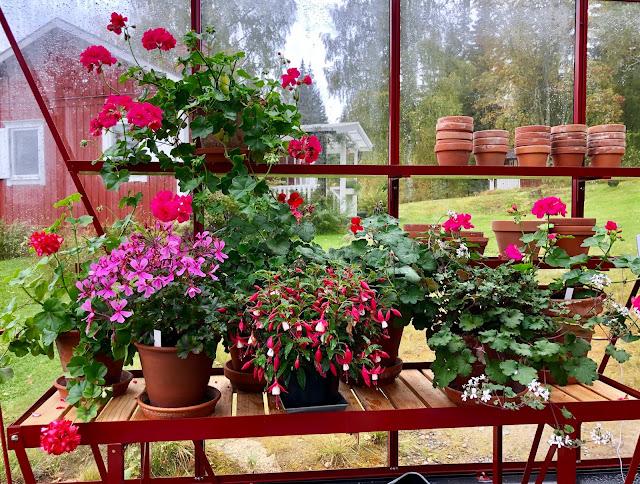 Höst i växthuset