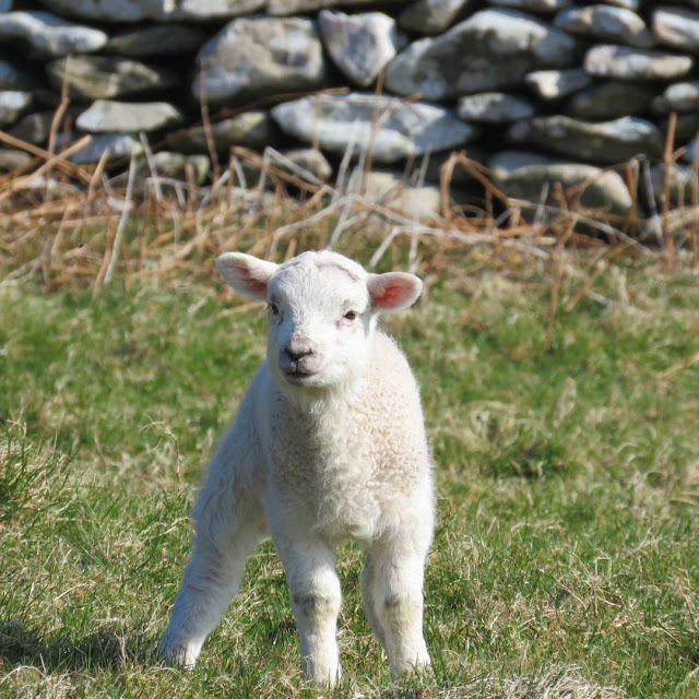 St. Patrick's Day Weekend on Dingle Peninsula - adorable lamb