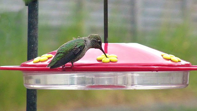 A hummingbird relaxes while it feeds...