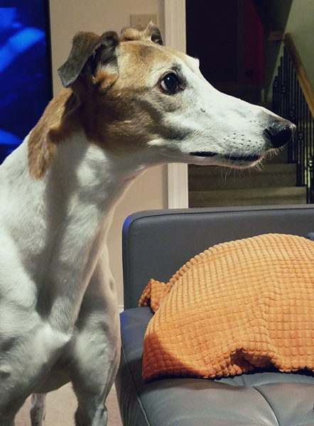 image of Dudley the Greyhound in profile, staring very intently at something