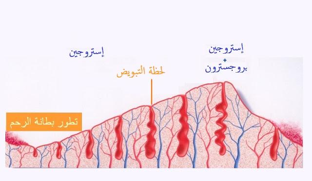 التغيرات الدموية  فى الغشاء المبطن للرحم بفعل البروجستروين