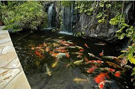 Cara Memelihara dan merawat Ikan Koi