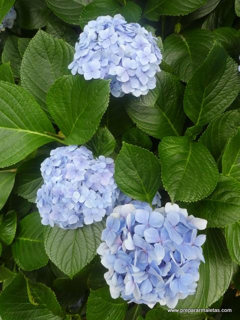 hortensias azules Azores