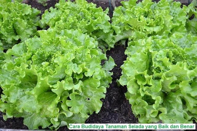 Budidaya tanaman selada