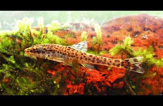 nova especie de peixe cascudinho rio são frahcisco