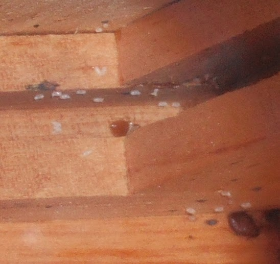 bed-bug-larvae-shell