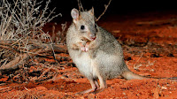 Woylie animal pictures_Bettongia penicillata