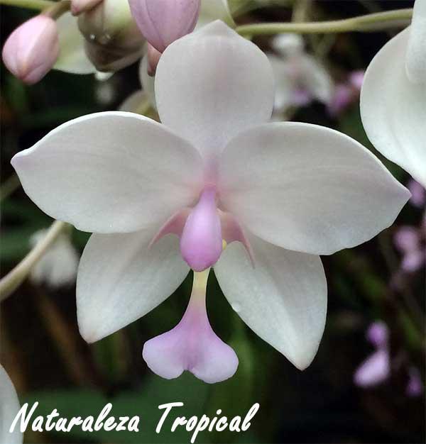 Variedad blanca de una orquídea del género Spathoglottis