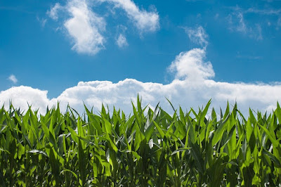 Field of corn under blue sky