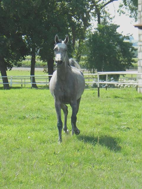 Arabians horses