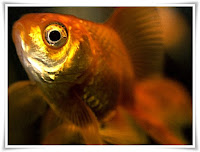 Goldfish Animal Pictures