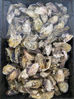 Pacific oysters (Magallena gigas) at Westcott Bay Shellfish Co.