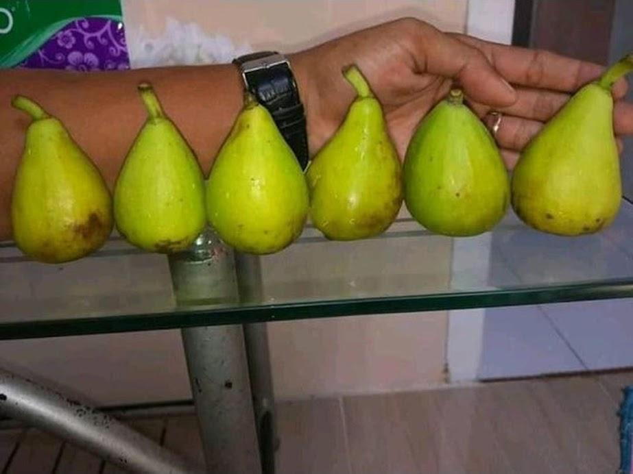 Bibit buah tin Dalmatie rusia Terlaris Banjar