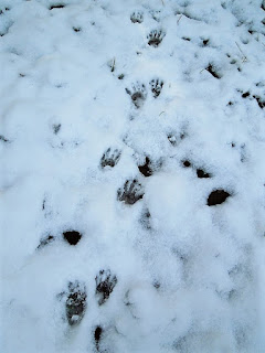 more raccoon footprints in the snow