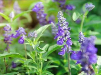 Salvia: efectos medicinales [Infografía]