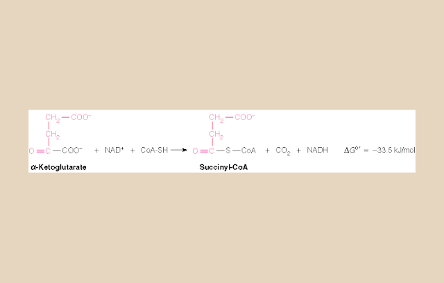 α-Ketoglutat Dehidrogenase Kompleks