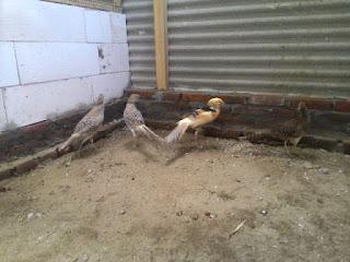 Ayam%2BYellow%2BPheasent%2BDewasa%2B%25283%2529%2B %2BCopy Foto Yellow Pheasant Terbaru Jual Ayam Hias HP : 08564 77 23 888   BERKUALITAS DAN TERPERCAYA Foto Yellow Pheasant Terbaru Galeri Foto Yellow Pheasant Terbaru