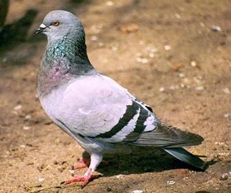 Foto de una paloma de color gris