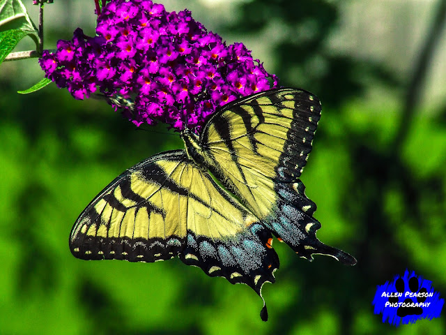 """Yellow Swallowtail at Bloom!"" (C) Allen Pearson Photography"