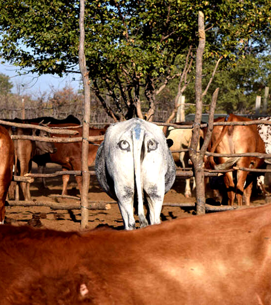 Olhos pintados em vacas