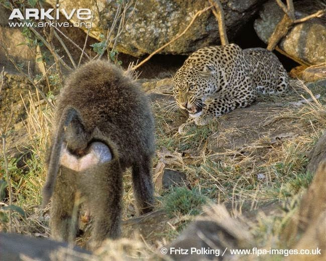 Leopard and Baboon