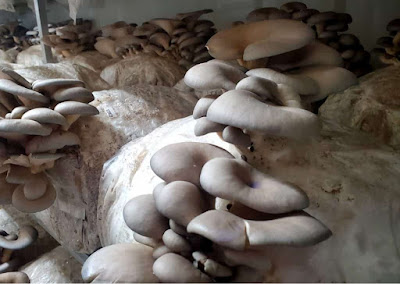 Mushroom farm in Satara