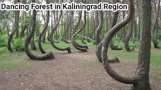 Dancing Forest in Kaliningrad