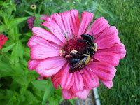 male carpenter bees on zinnia