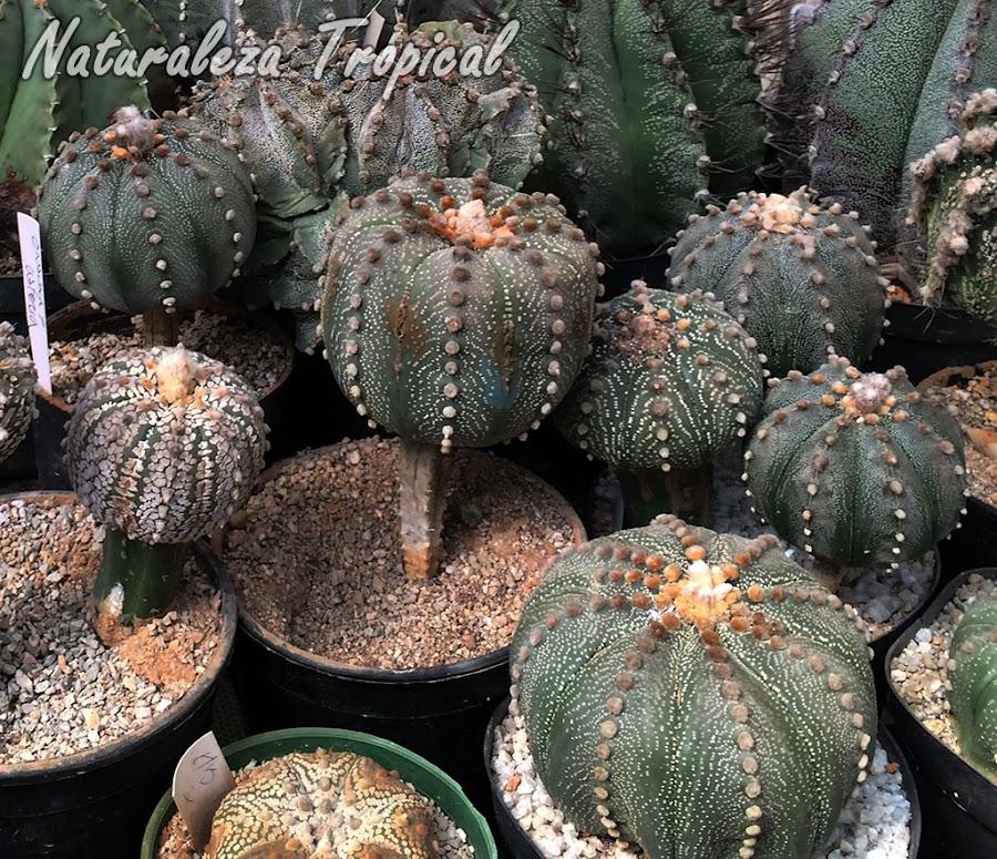 Cactus Peyotillo , Astrophytum asterias