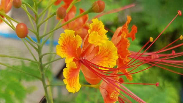 ดอกต้นหางนกยูงไทย