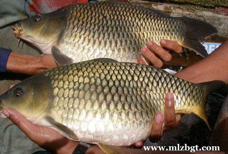 Umpan Alami Mancing Ikan Mas Liar Tanpa Essen Malez Banget
