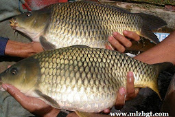 Umpan Alami Mancing Ikan Mas Liar tanpa essen
