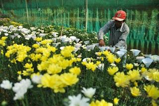 perkebunan bunga chrysan polije