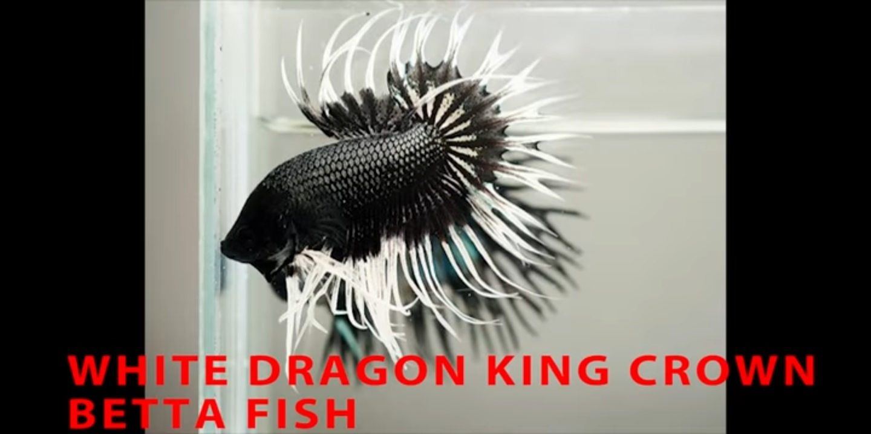 White Dragon King Crown betta fish