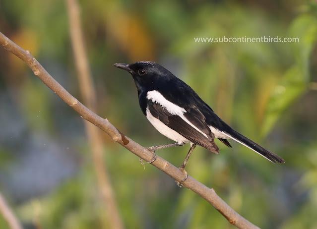 Oriental magpie-robin- Copsychus saularis