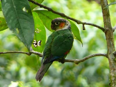 White necked parakeeta