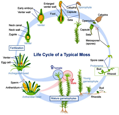 Mosses life cycle