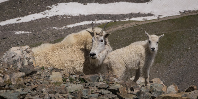 Mother and Baby Mountain Goat, Torreys Peak