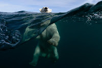 Wildlife Photographer of the Year orso polare