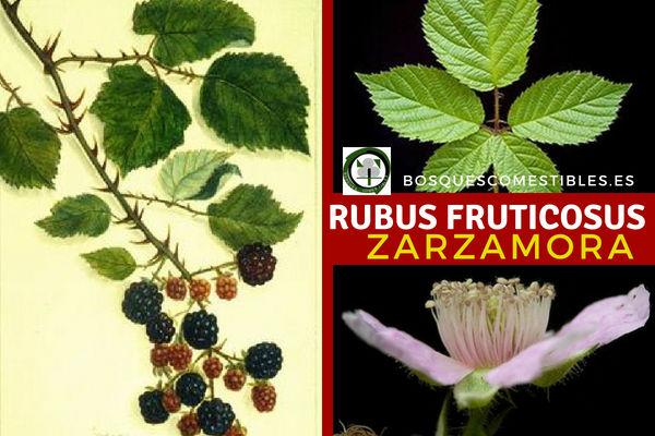 Rubus fruticosus, Zarzamora, sus Frutos son las Moras, drupas de color rojas y al final de su maduración negras