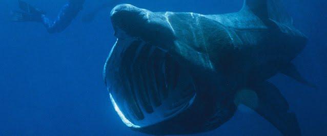 Tubarão Elefante ou Tubarão-Peregrino