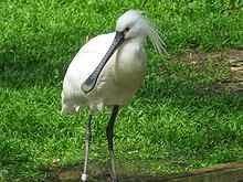 طائر ابو ملعقه الابيض  Great White Pelican