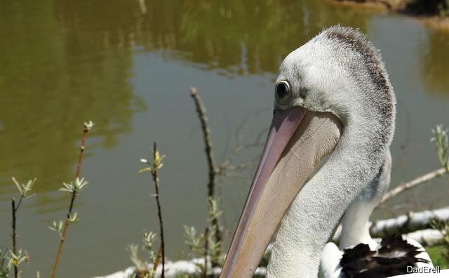 Pélican à lunettes, Parc des Oiseaux de Villars-les-Dombes
